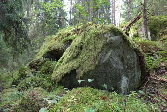 Uutelan metsää kuva Jan Salonen